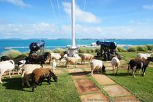 Grazing Sheep at Bermuda Maritime Museum.jpg