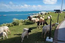Sheep at Bermuda Maritime Museum grounds.jpg